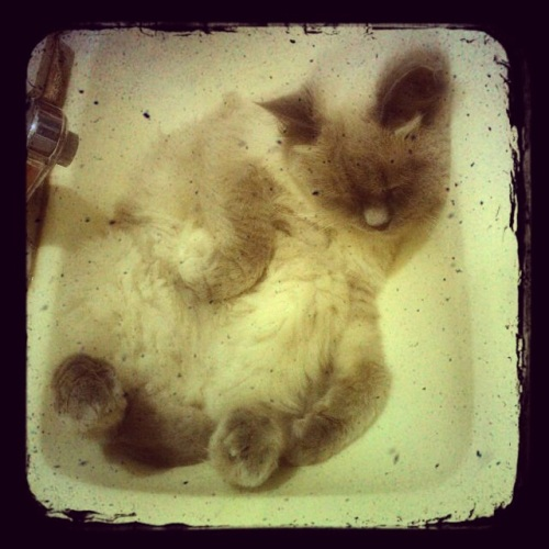 Netzach Wondercat, aka Nettie sleeping in the bathroom sink. 2014. Pic by Michele Witchipoo